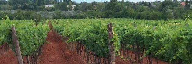 Eltűnhetnek a balatoni szőlők – kérdések és kilátások