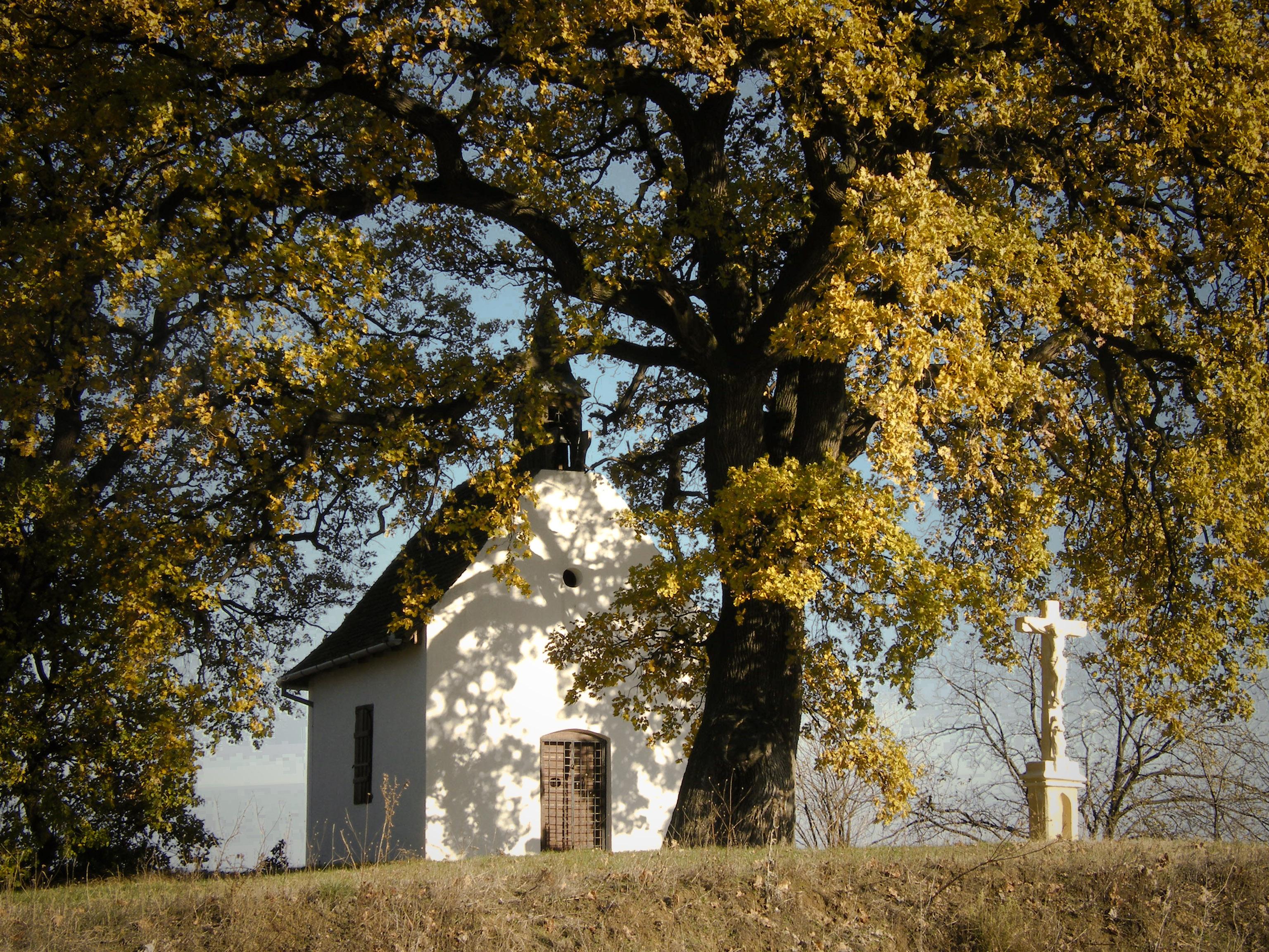 A kápolna, a szőlő és a két molyhos tölgy – egymást őrzik a szőlőhegy lakói