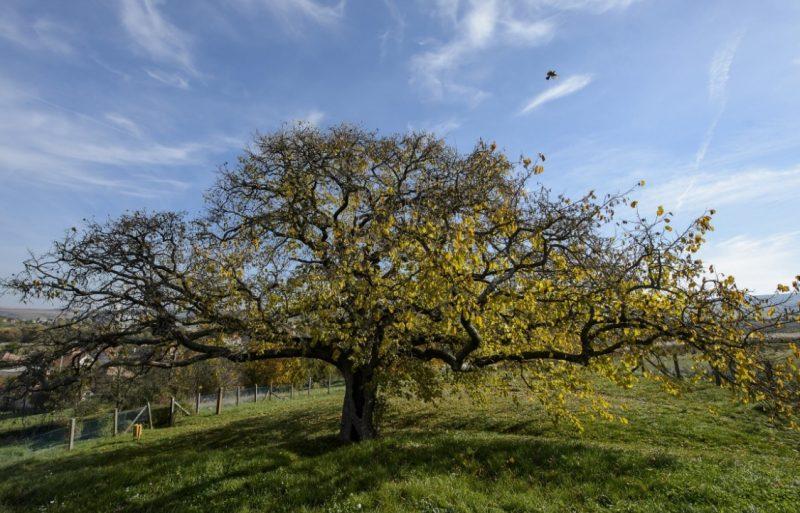 Rákóczi népét ma is összetartják a fejedelem fái